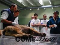 Un lupo investito ad Airasca