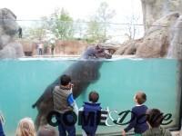 A Zoom Torino il primo habitat italiano con visione subacquea degli ippopotami