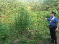 Scoperte in un campo alcune piante di marijuana