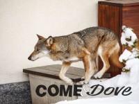 In Val Chisone visti tre lupi in due giorni