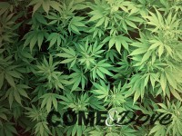 Due giovani arrestati per possesso di marijuana
