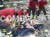 Abbadia Alpina, recuperato cervo morto