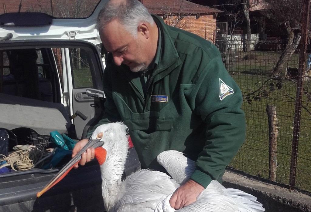 Recuperato fra None e Airasca il pellicano avvistato già nelle scorse settimane