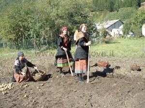 La raccolta delle patate