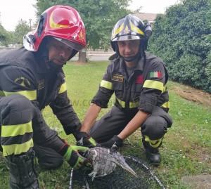 Pinerolo, i Vigili del Fuoco liberano un airone incastrato in una recinzione