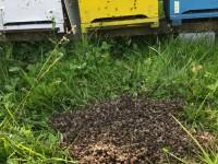Le api avvelenate