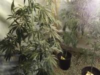 Nella foto di repertorio le piante trovate a Pinerolo nello stadio del ghiaccio