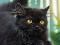 Un gatto positivo alla variante inglese del Covid, contagiato dai suoi proprietari