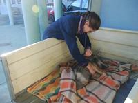 Convalescenza nel Parco Naturale delle Alpi Marittime per la giovane lupa recuperata il 5 dicembre a Pragelato